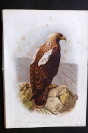 Cassell & Rymer Jones 1869 Antique Bird Print. Imperial Eagle